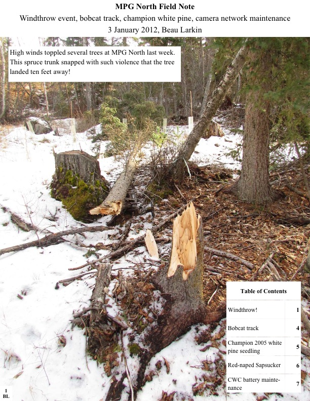 MPG North Field Note Windthrow event, bobcat track, champion white pine, camera network maintenance 3 January 2012, Beau Larkin High winds toppled several trees at MPG North last week. This spruce trunk snapped with such violence that the tree landed ten feet away!