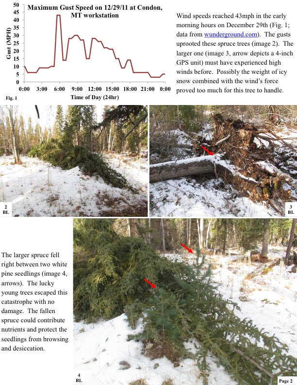 Wind speeds reached 43mph in the early morning hours on December 29th (Fig. 1; data from wunderground.com). The gusts uprooted these spruce trees (image 2). The larger one (image 3, arrow depicts a 4-inch GPS unit) must have experienced high winds before. Possibly the weight of icy snow combined with the wind's force proved too much for this tree to handle.