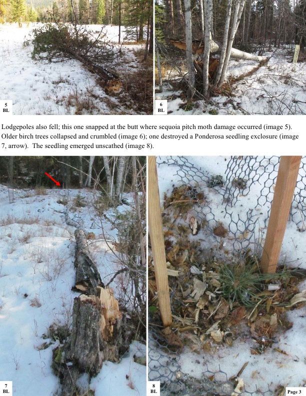 Lodgepoles also fell; this one snapped at the butt where sequoia pitch moth damage occurred (image 5). Older birch trees collapsed and crumbled (image 6); one destroyed a Ponderosa seedling exclosure (image 7, arrow). The seedling emerged unscathed (image 8).