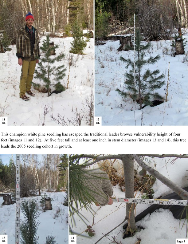 This champion white pine seedling has escaped the traditional leader browse vulnerability height of four feet (images 11 and 12). At five feet tall and at least one inch in stem diameter (images 13 and 14), this tree leads the 2005 seedling cohort in growth.