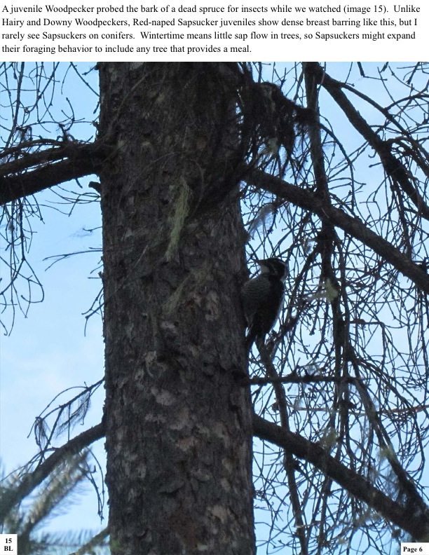 A juvenile Woodpecker probed the bark of a dead spruce for insects while we watched (image 15). Unlike Hairy and Downy Woodpeckers, Red-naped Sapsucker juveniles show dense breast barring like this, but I rarely see Sapsuckers on conifers. Wintertime means little sap flow in trees, so Sapsuckers might expand their foraging behavior to include any tree that provides a meal.