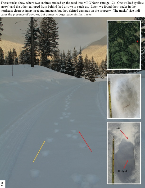 These tracks show where two canines cruised up the road into MPG North (image 12). One walked (yellow arrow) and the other galloped from behind (red arrow) to catch up. Later, we found their tracks in the northeast clearcut (map inset and images), but they skirted cameras on the property. The tracks' size indi- cates the presence of coyotes, but domestic dogs leave similar tracks.