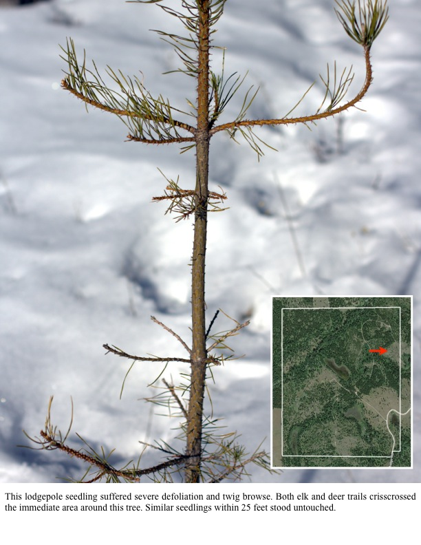 This lodgepole seedling suffered severe defoliation and twig browse. Both elk and deer trails crisscrossed the immediate area around this tree. Similar seedlings within 25 feet stood untouched.