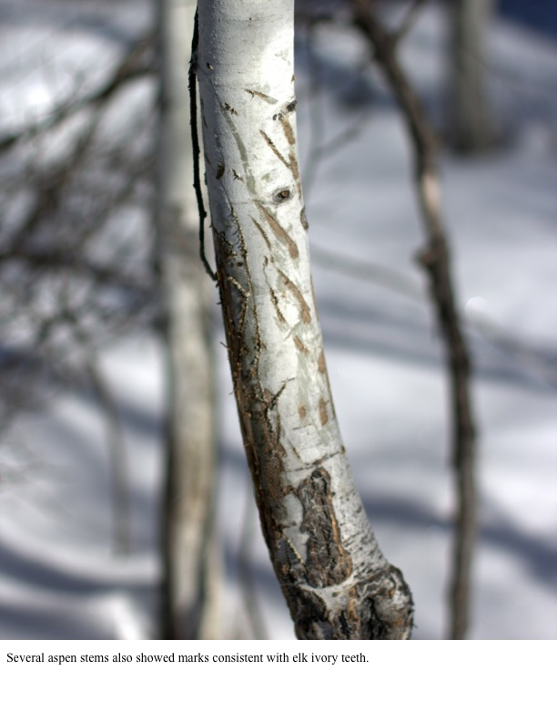 Several aspen stems also showed marks consistent with elk ivory teeth.
