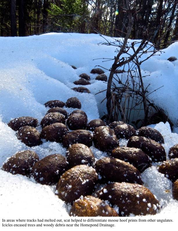 In areas where tracks had melted out, scat helped to differentiate moose hoof prints from other ungulates.