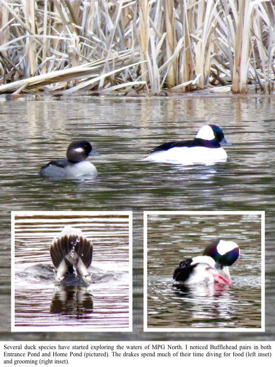 Several duck species have started exploring the waters of MPG North. I noticed Bufflehead pairs in both Entrance Pond and Home Pond (pictured). The drakes spend much of their time diving for food (left inset) and grooming (right inset).