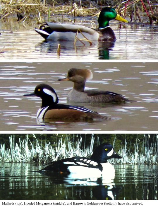 Mallards (top), Hooded Mergansers (middle), and Barrow's Goldeneyes (bottom), have also arrived.