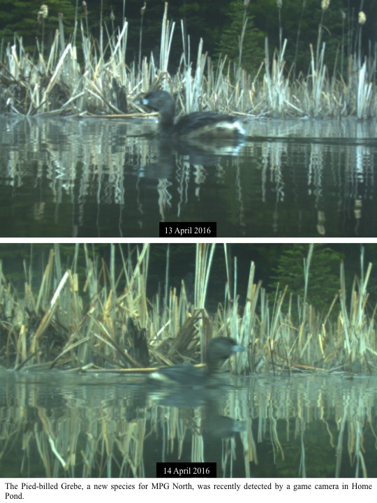 The Pied-billed Grebe, a new species for MPG North, was recently detected by a game camera in Home Pond.