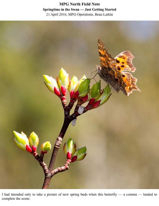 I had intended only to take a picture of new spring buds when this butterfly — a comma — landed to complete the scene.