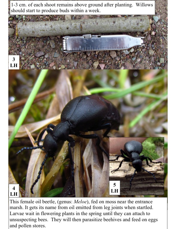 This female oil beetle, (genus: Meloe), fed on moss near the entrance marsh. It gets its name from oil emitted from leg joints when startled. Larvae wait in flowering plants in the spring until they can attach to unsuspecting bees. They will then parasitize beehives and feed on eggs and pollen stores.