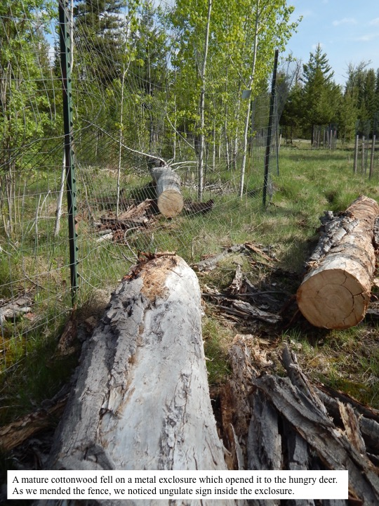 A mature cottonwood fell on a metal exclosure which opened it to the hungry deer. As we mended the fence, we noticed ungulate sign inside the exclosure.