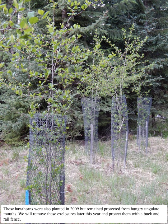 These hawthorns were also planted in 2009 but remained protected from hungry ungulate mouths. We will remove these exclosures later this year and protect them with a buck and rail fence.