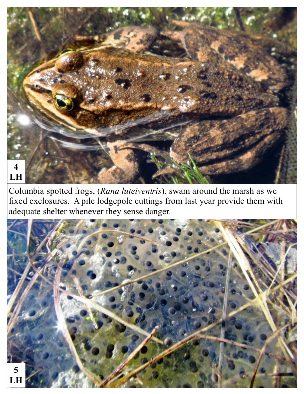 olumbia spotted frogs, (Rana luteiventris), swam around the marsh as we fixed exclosures. A pile lodgepole cuttings from last year provide them with adequate shelter whenever they sense danger.