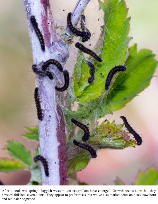 After a cool, wet spring, sluggish western tent caterpillars have emerged.