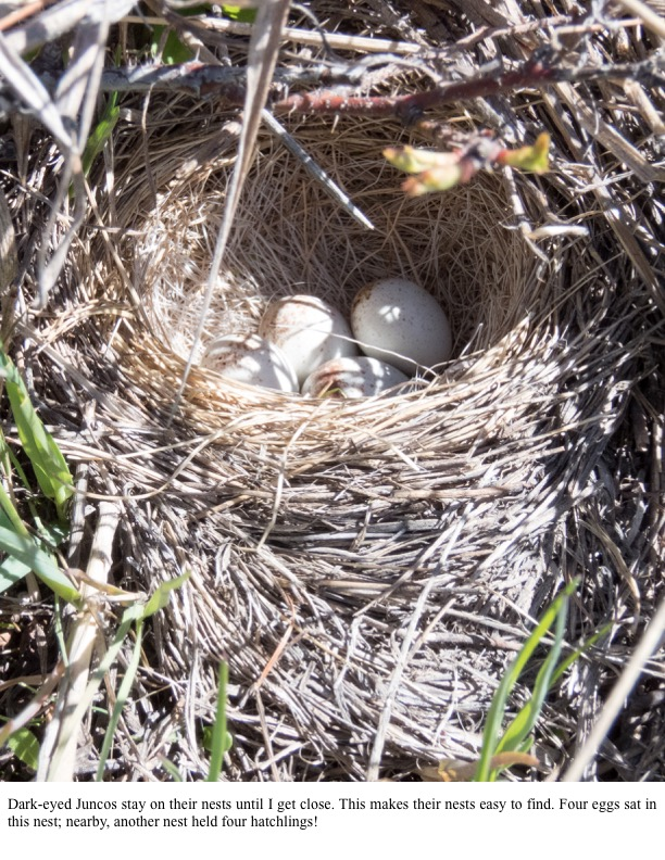 Dark-eyed Juncos stay on their nests until I get close.