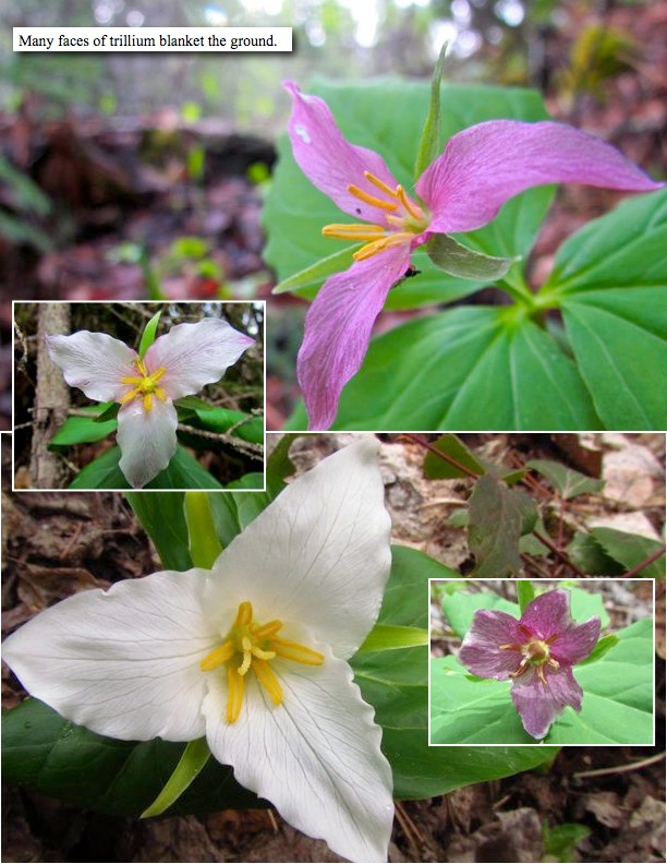 Many faces of trillium blanket the ground.