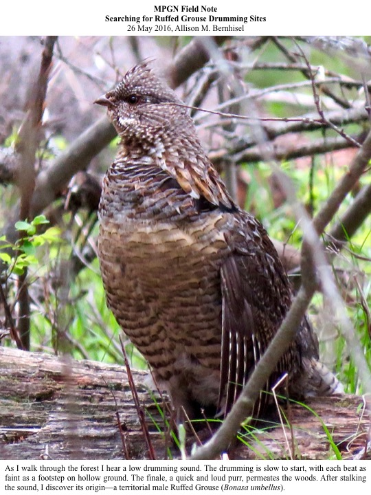MPGN Field Note Searching for Ruffed Grouse Drumming Sites 26 May 2016, Allison M. Bernhisel