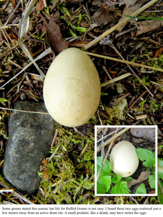 Some grouse mated this season, but life for Ruffed Grouse is not easy. I found these two eggs scattered just a few meters away from an active drum site. A small predator, like a skunk, may have stolen the eggs.