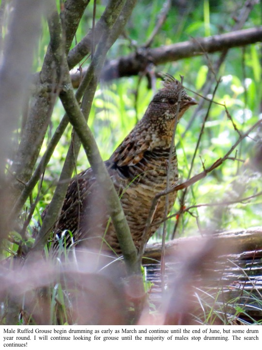 Male Ruffed Grouse begin drumming as early as March and continue until the end of June, but some drum year round. I will continue looking for grouse until the majority of males stop drumming. The search continues!