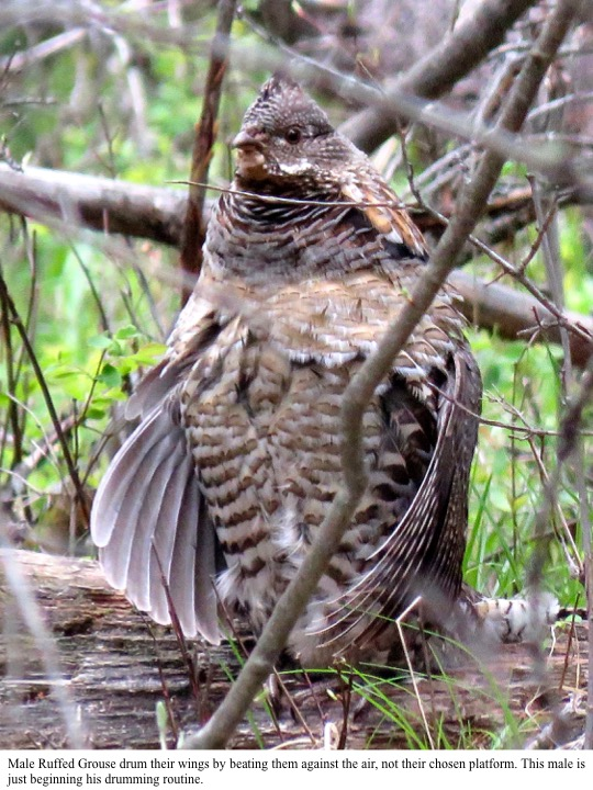 Male Ruffed Grouse drum their wings by beating them against the air, not their chosen platform. This male is just beginning his drumming routine.
