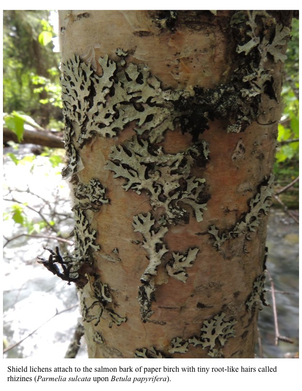 Shield lichens attach to the salmon bark of paper birch with tiny root-like hairs called rhizines (Parmelia sulcata upon Betula papyrifera).