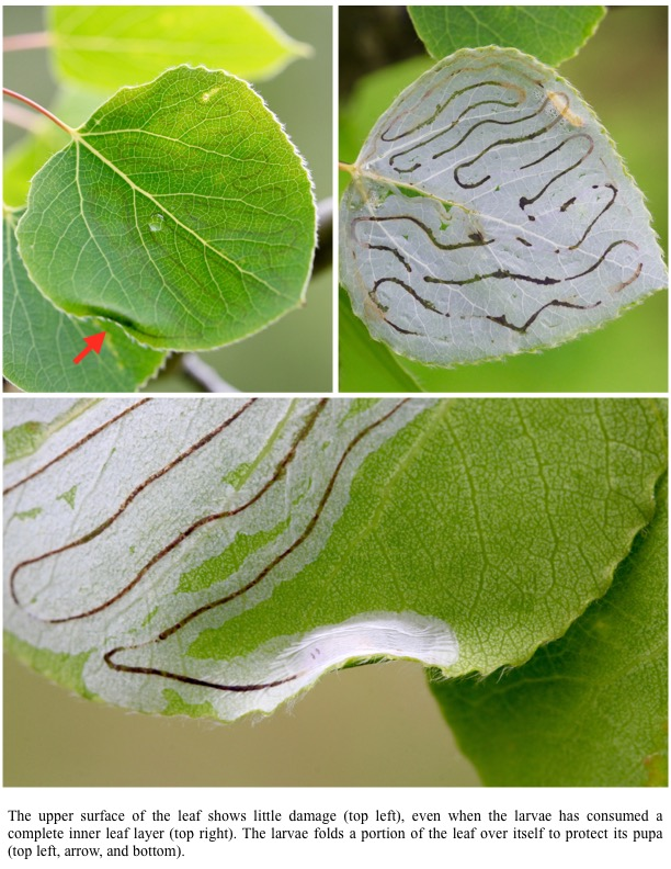 The upper surface of the leaf shows little damage (top left), even when the larvae has consumed a complete inner leaf layer (top right). The larvae folds a portion of the leaf over itself to protect its pupa (top left, arrow, and bottom).