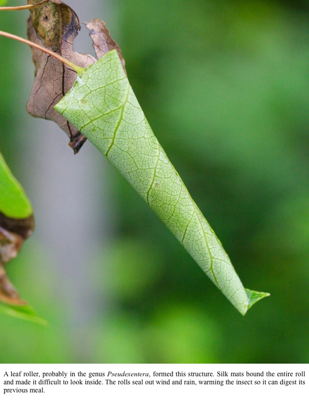 A leaf roller, probably in the genus Pseudexentera, formed this structure. Silk mats bound the entire roll and made it difficult to look inside. The rolls seal out wind and rain, warming the insect so it can digest its previous meal.
