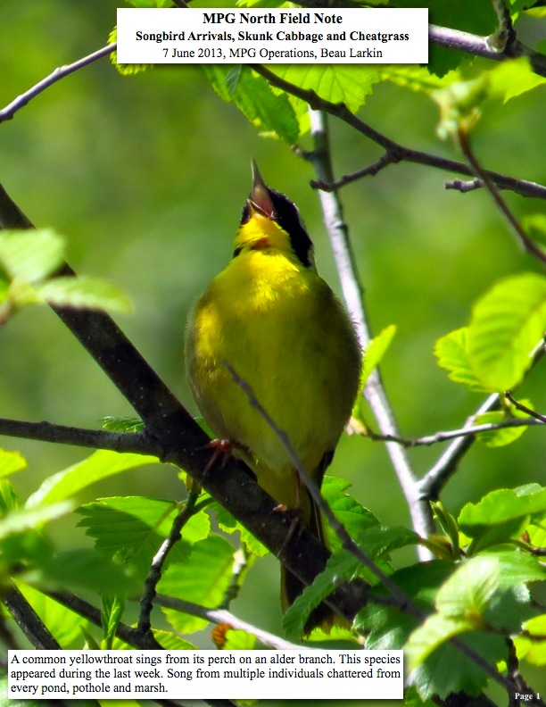 A common yellowthroat sings from its perch on an alder branch. This species appeared during the last week. Song from multiple individuals chattered from every pond, pothole and marsh.