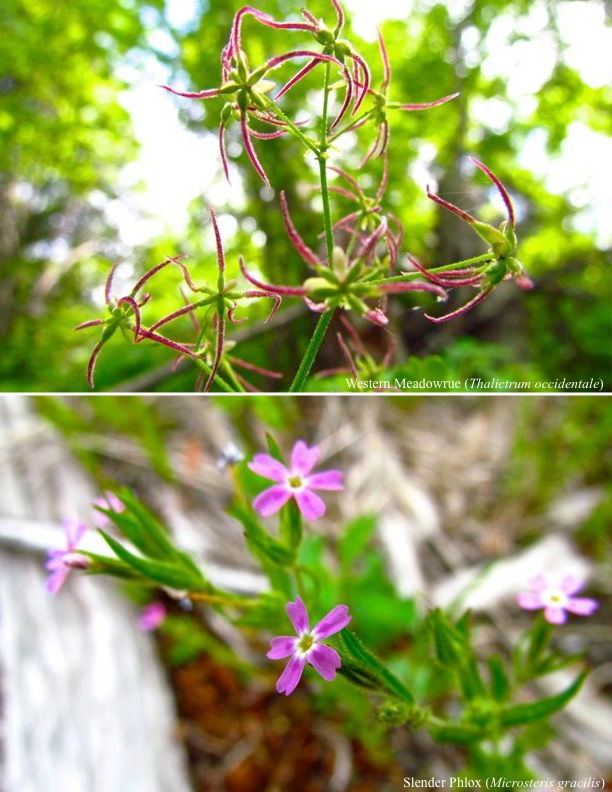 Western Meadowrue (above), Slender Phlox (below)