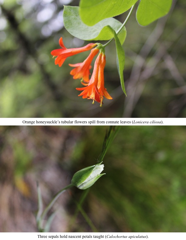 Orange honeysuckle's tubular flowers spill from connate leaves (Lonicera ciliosa).