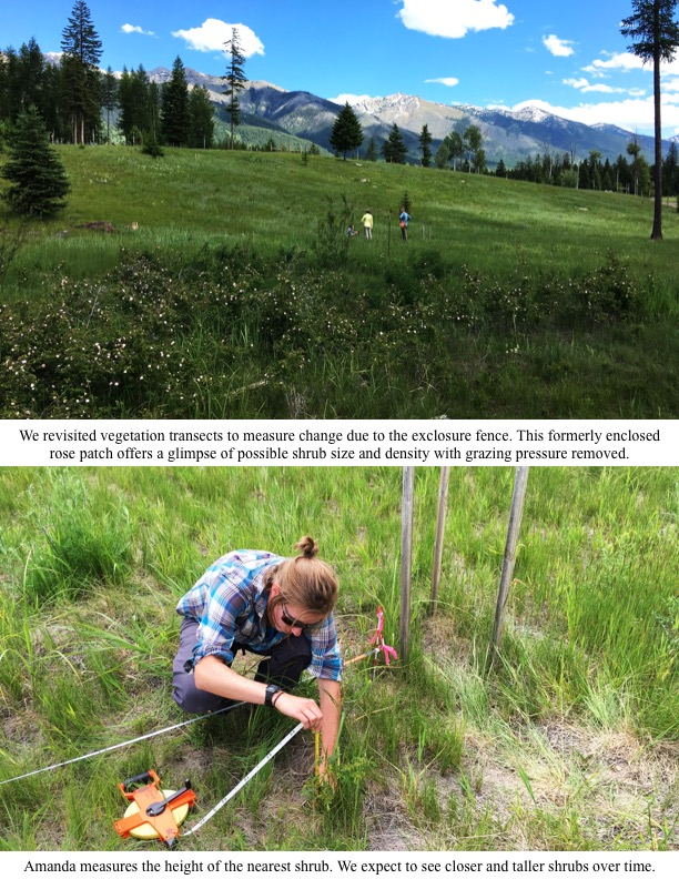 We revisited vegetation transects to measure change due to the exclosure fence. This formerly enclosed rose patch offers a glimpse of possible shrub size and density with grazing pressure removed.
