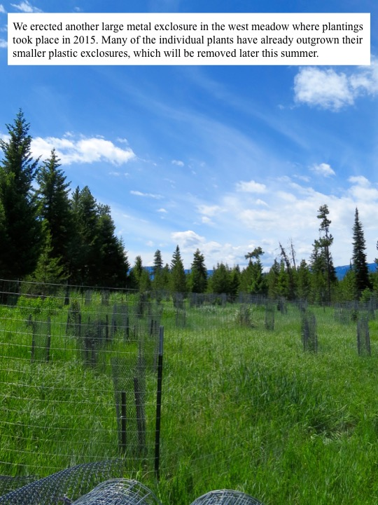 We erected another large metal exclosure in the west meadow where plantings took place in 2015.