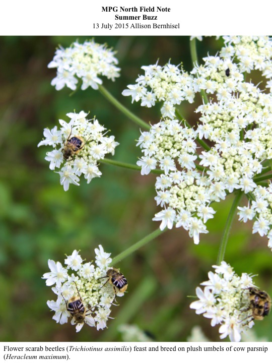Flower scarab beetles (Trichiotinus assimilis) feast and breed on plush umbels of cow parsnip (Heracleum maximum).