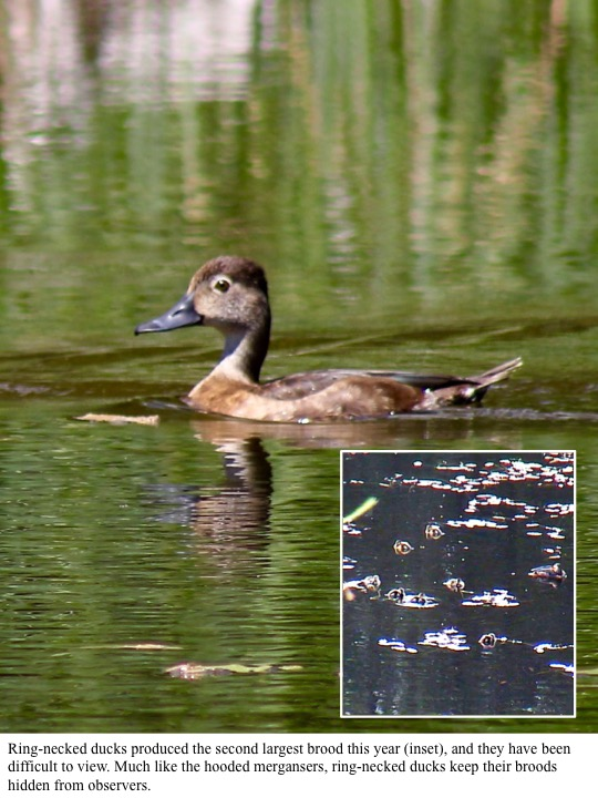 ng-necked ducks produced the second largest brood this year (inset), and they have been difficult to view. Much like the hooded mergansers, ring-necked ducks keep their broods hidden from observers.