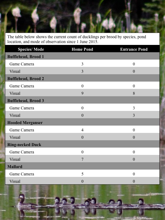 The table below shows the current count of ducklings per brood by species, pond location, and mode of observation since 1 June 2015.