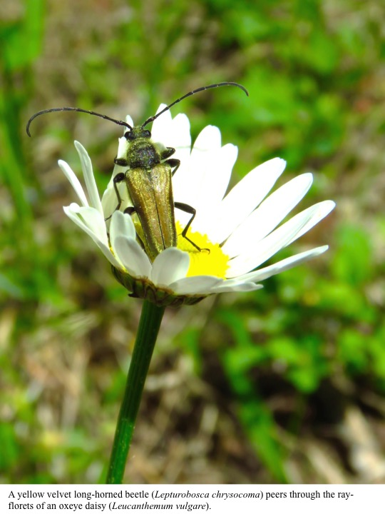 A yellow velvet long-horned beetle (Lepturobosca chrysocoma) peers through the rayflorets of an oxeye daisy (Leucanthemum vulgare).