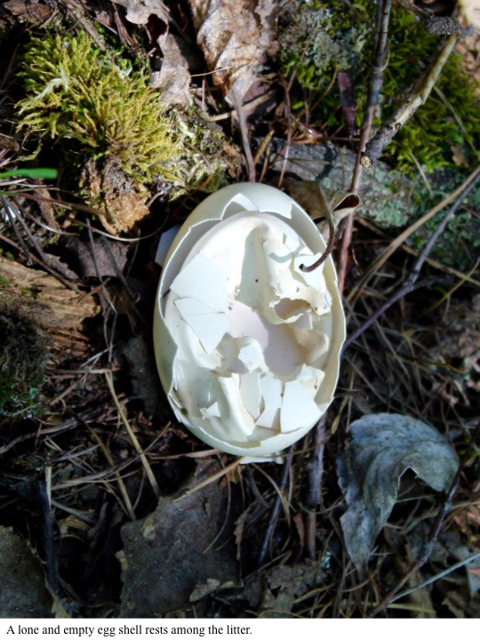 A lone and empty egg shell rests among the litter.