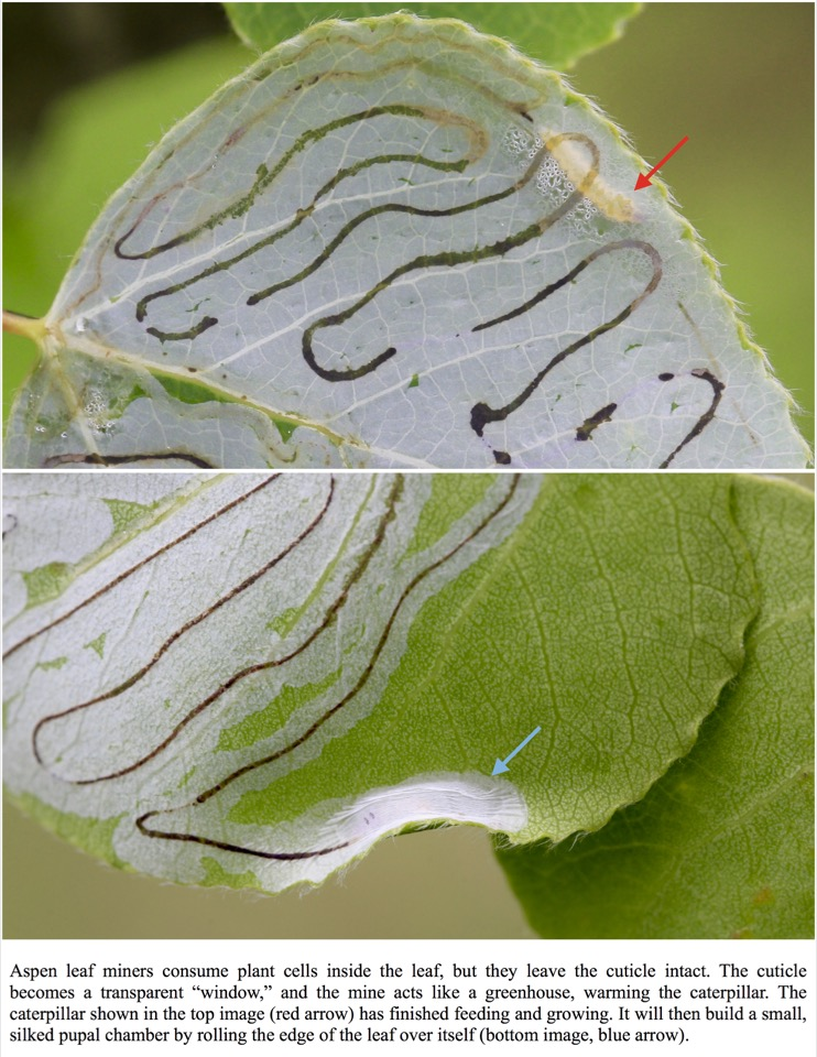We are in year two of research on the thermal ecology of aspens and aspen leaf miners.