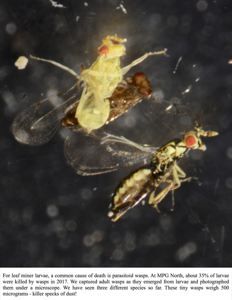 For leaf miner larvae, a common cause of death is parasitoid wasps.