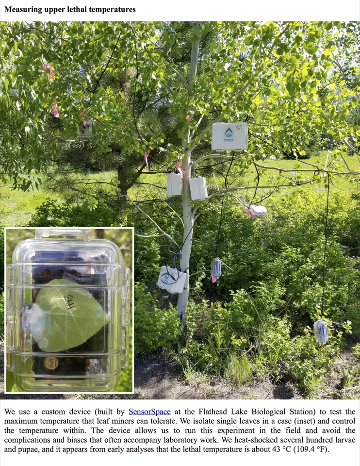 We use a custom device (built by SensorSpace at the Flathead Lake Biological Station) to test the maximum temperature that leaf miners can tolerate.
