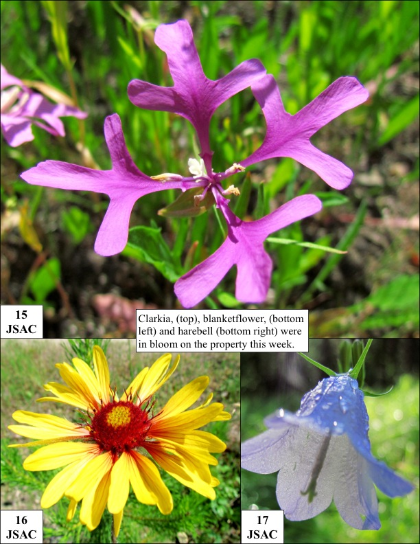 Clarkia, (top), blanketflower, (bottom left) and harebell (bottom right) were in bloom on the property this week.