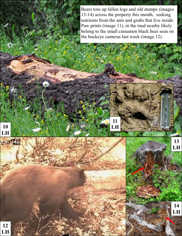 Bears tore up fallen logs and old stumps (images 13-14) across the property this month, seeking nutrients from the ants and grubs that live inside. Paw prints (image 11), in the mud nearby likely belong to the small cinnamon black bear seen on the buckeye cameras last week (image 12).