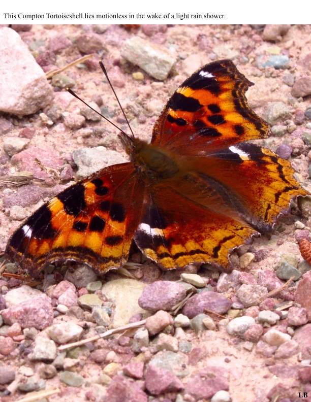 This Compton Tortoiseshell lies motionless in the wake of a light rain shower.
