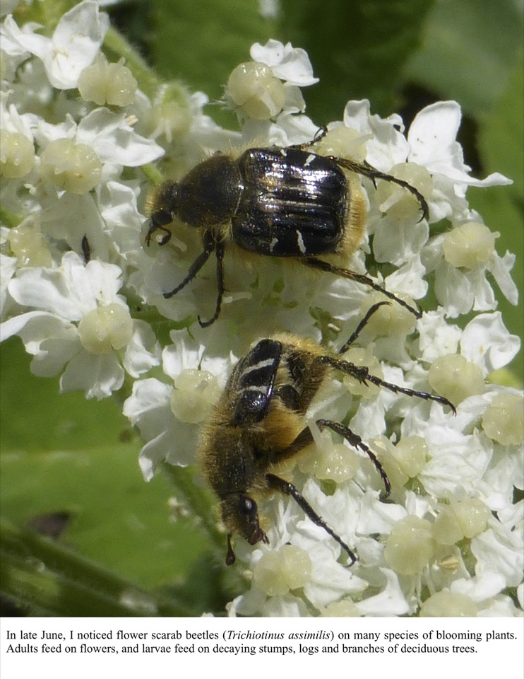 In late June, I noticed flower scarab beetles (Trichiotinus assimilis) on many species of blooming plants.