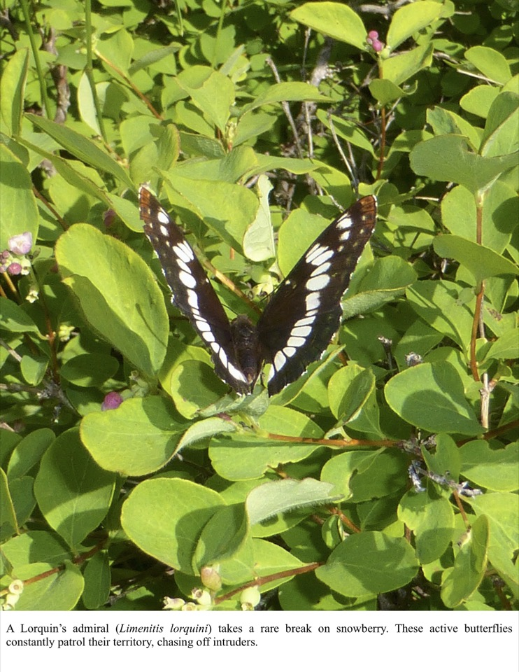 A Lorquin's admiral (Limenitis lorquini) takes a rare break on snowberry.