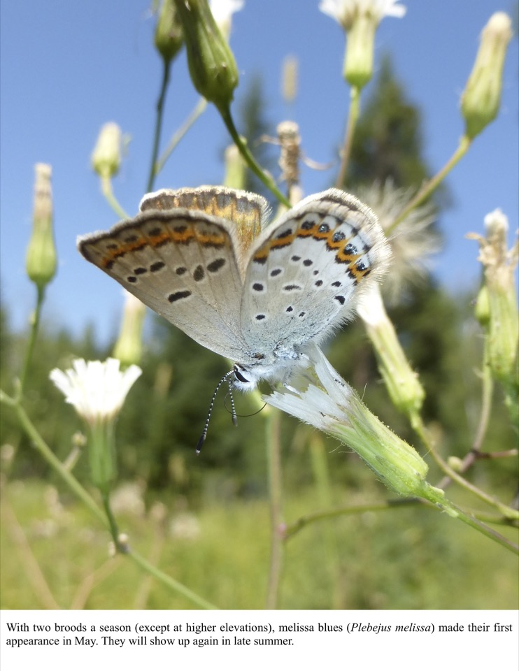 With two broods a season (except at higher elevations), melissa blues (Plebejus melissa) made their first appearance in May.