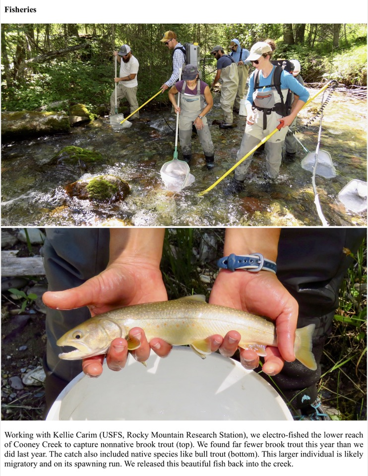 Working with Kellie Carim (USFS, Rocky Mountain Research Station), we electro-fished the lower reach of Cooney Creek to capture nonnative brook trout (top).