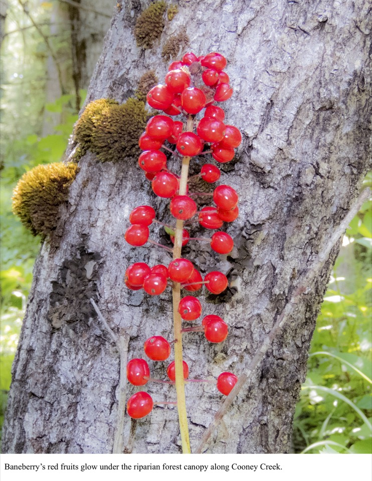 Baneberry's red fruits glow under the riparian forest canopy along Cooney Creek.