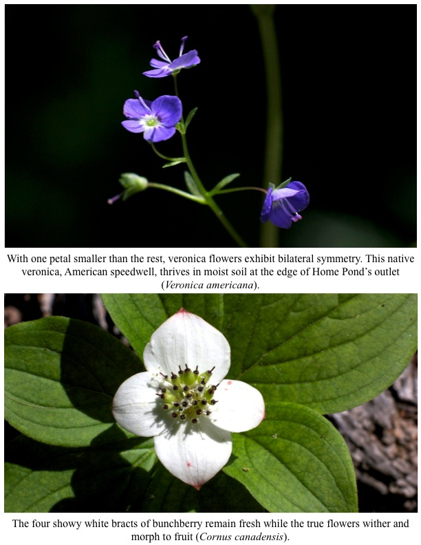With one petal smaller than the rest, veronica flowers exhibit bilateral symmetry. This native veronica, American speedwell, thrives in moist soil at the edge of Home Pond's outlet (Veronica americana).