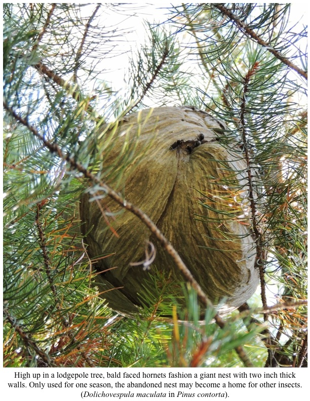 High up in a lodgepole tree, bald faced hornets fashion a giant nest with two inch thick walls. Only used for one season, the abandoned nest may become a home for other insects. (Dolichovespula maculata in Pinus contorta).